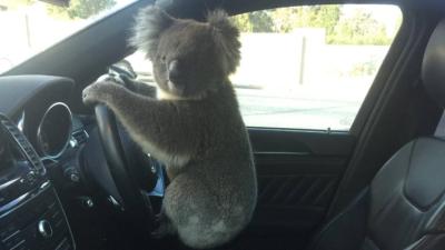 koala alla guida